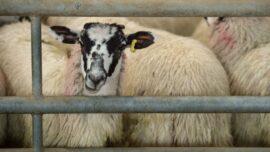 Prime Minister: United States Lifting Ban on British Lamb
