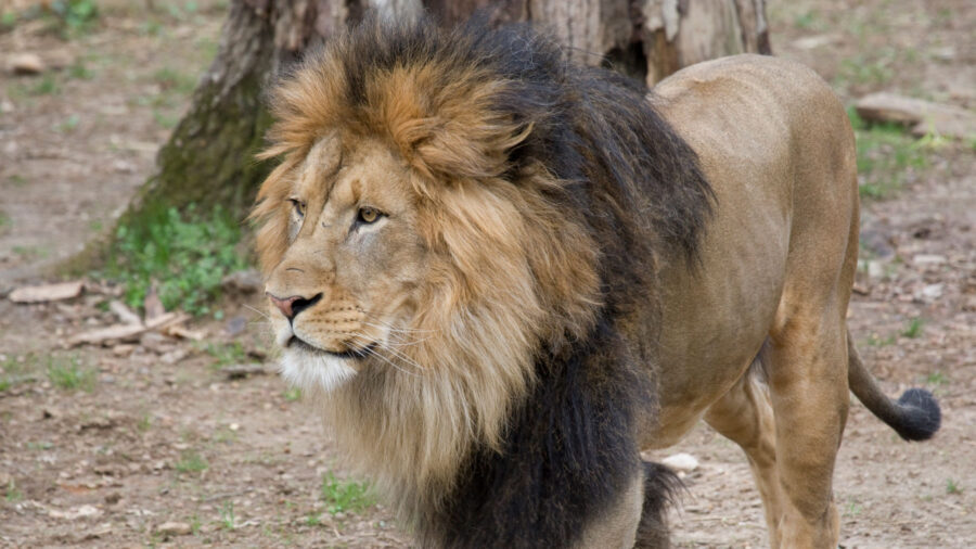 Lions and Tigers at Washington's National Zoo Test Presumptive Positive for COVID-19