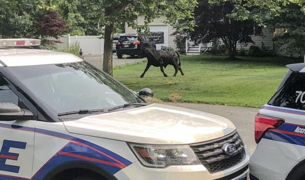 A bull runs loose