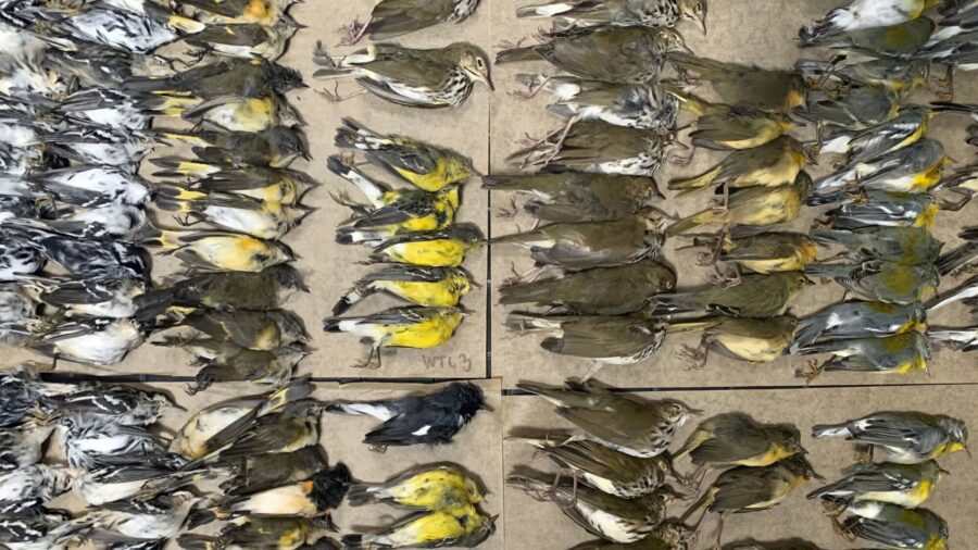 Hundreds of Migrating Songbirds Crash Into NYC Skyscrapers