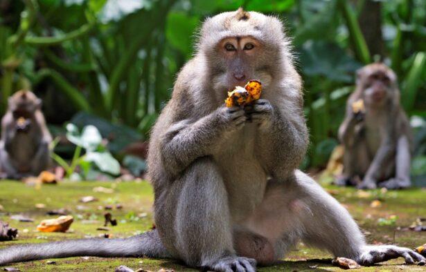 macaques-eat-bananas