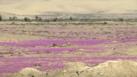 Flowers Bloom in Driest Desert on Earth