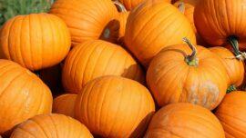 Pumpkin Shortage Coming? No Need to Panic