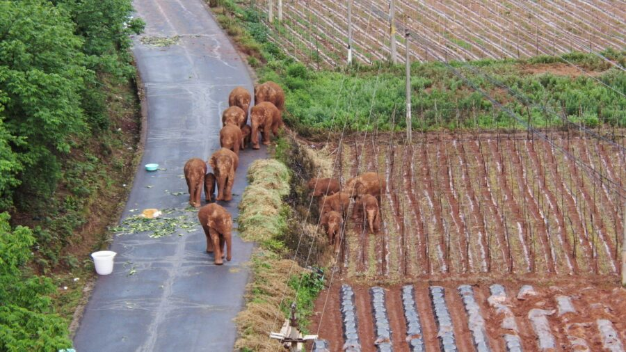 China's Wild Elephants on the Move Again After Day of Rest