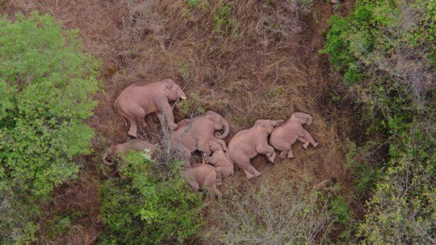 A migrating herd of elephants